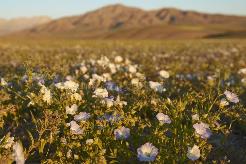 Blumen in der Atacama-Wüste in Chile stockfotos