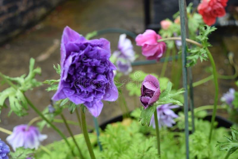 Blumen in der Blüte in meinem Garten lizenzfreie stockfotos