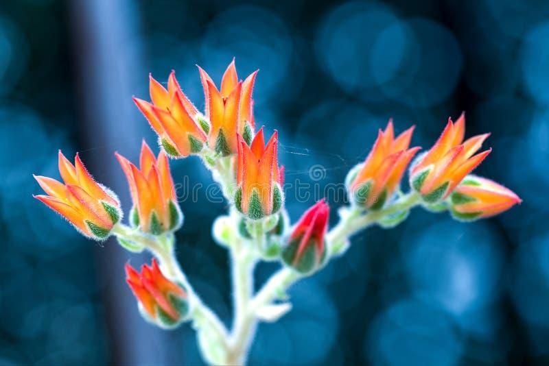 Blumen der echeveria saftigen Anlage stockfotografie