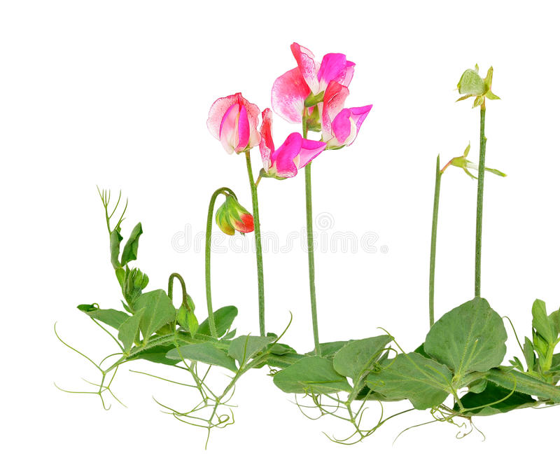 Blumen der Edelwicke (Lathyrus odoratus) stockbilder