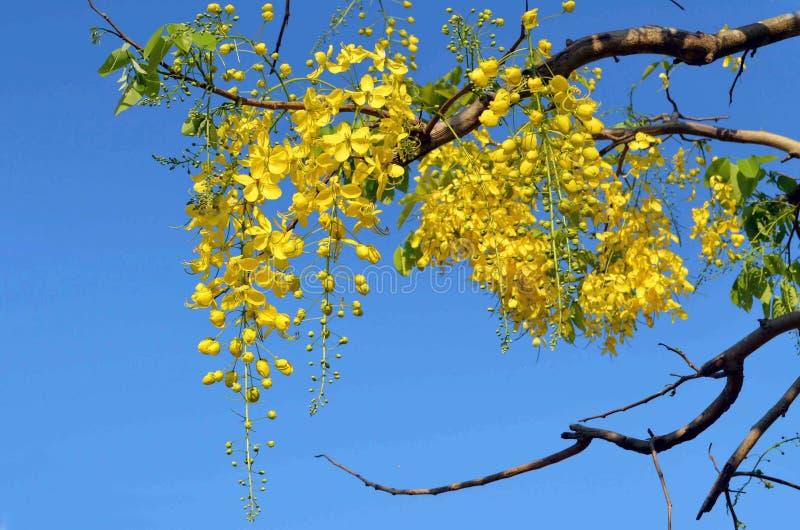 Blumen der goldenen Baum-Fistel blühen gegen Blaues lizenzfreies stockfoto