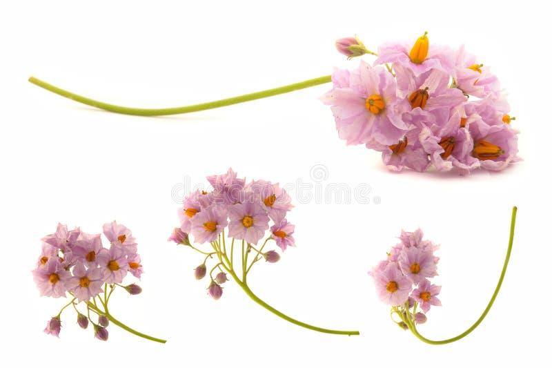 Blumen der Kartoffel stockbild