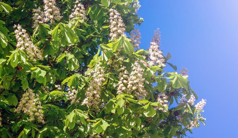 Blumen der Kastanie auf einem Hintergrund des blauen Himmels im sonnigen weather_ lizenzfreie stockfotos