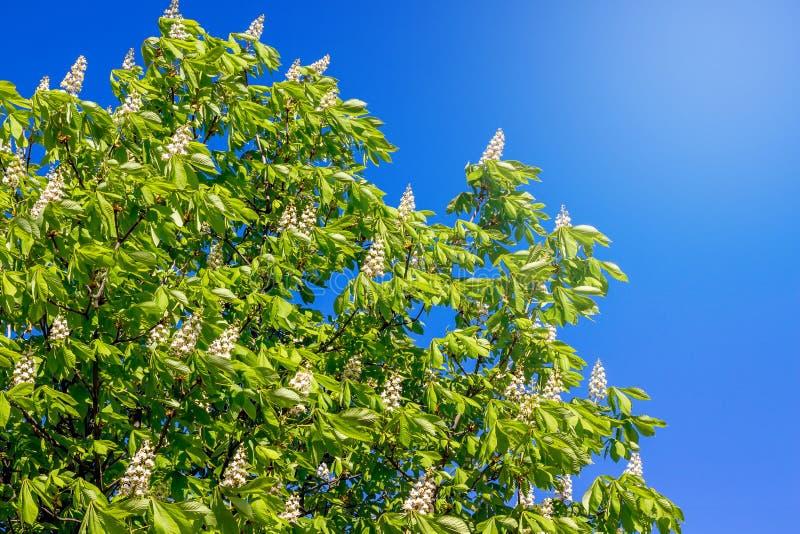 Blumen der Kastanie gegen einen Hintergrund des blauen Himmels Kastanie bloom_ lizenzfreie stockbilder