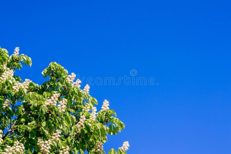 Blumen der Kastanie gegen einen Hintergrund des blauen Himmels Kastanienblüte Kopie space_ lizenzfreie stockbilder