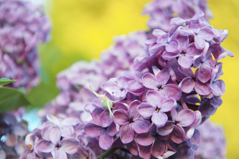 Blumen der lila Anlage, die im Spätfrühling blüht stockfotos