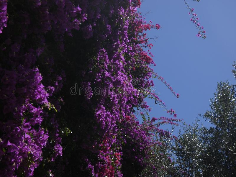 Blumen der rötlichen Farbe, der Kriechpflanzenanlage lizenzfreies stockbild