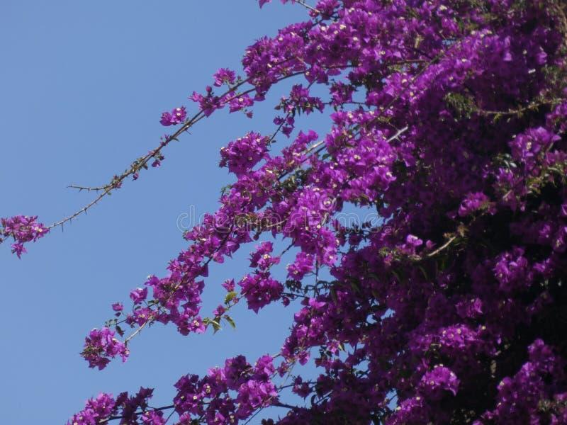 Blumen der rötlichen Farbe, der Kriechpflanzenanlage stockbilder
