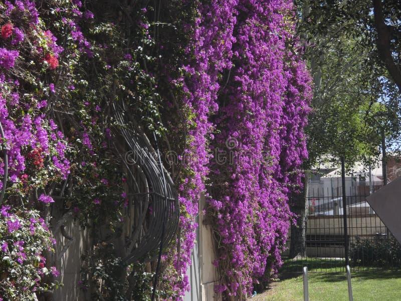 Blumen der rötlichen Farbe, der Kriechpflanzenanlage stockbild