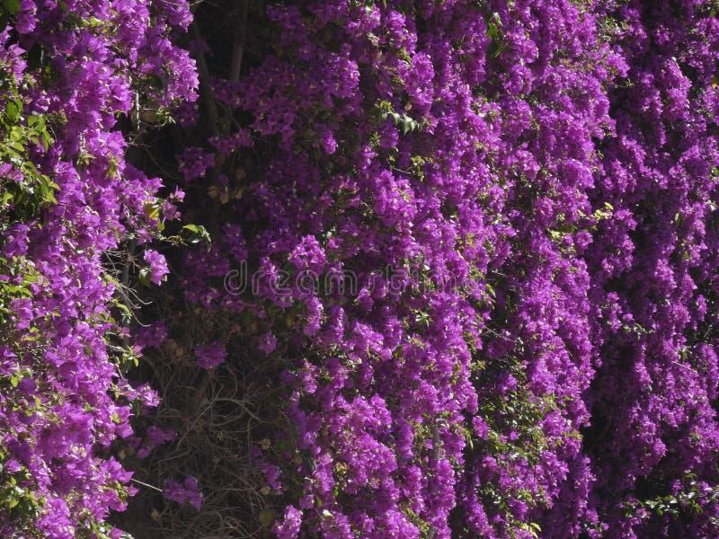 Blumen der rötlichen Farbe, der Kriechpflanzenanlage lizenzfreie stockfotografie