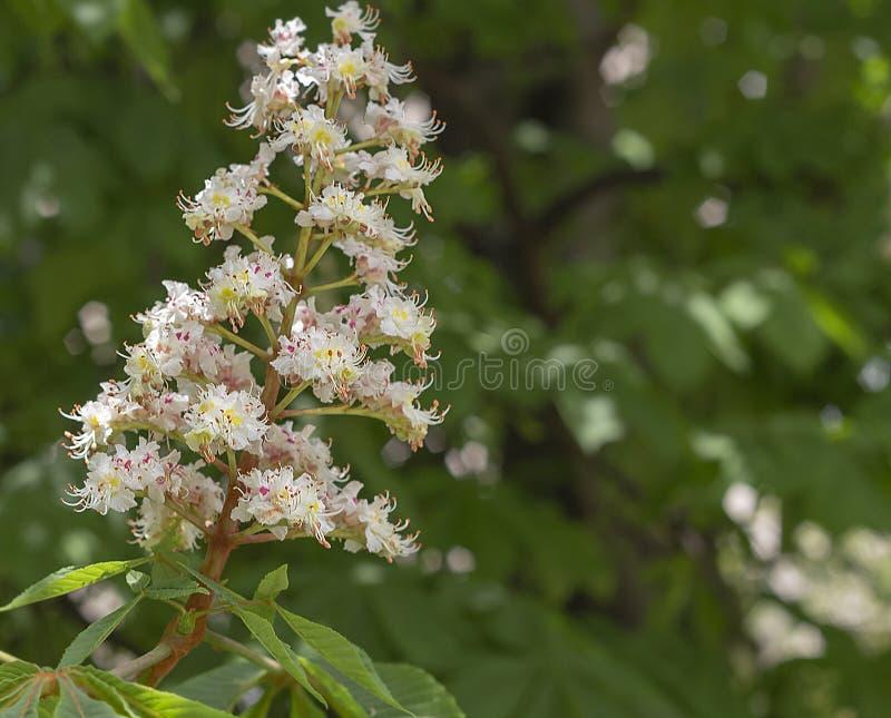 Blumen der Rosskastanie in der Sonne lizenzfreies stockbild