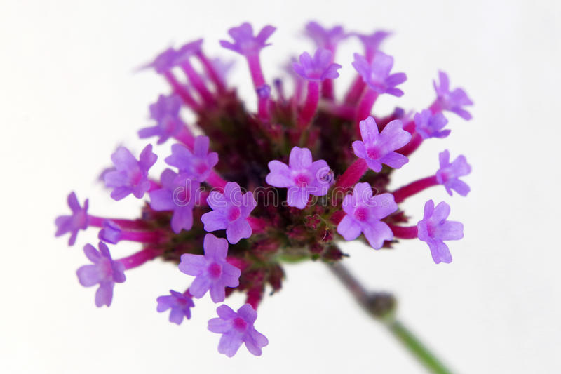 Blumen der Verbene lizenzfreie stockfotografie