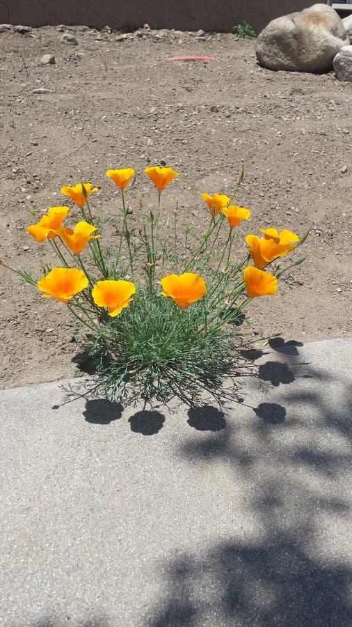 Blumen in der Wüste stockfotos