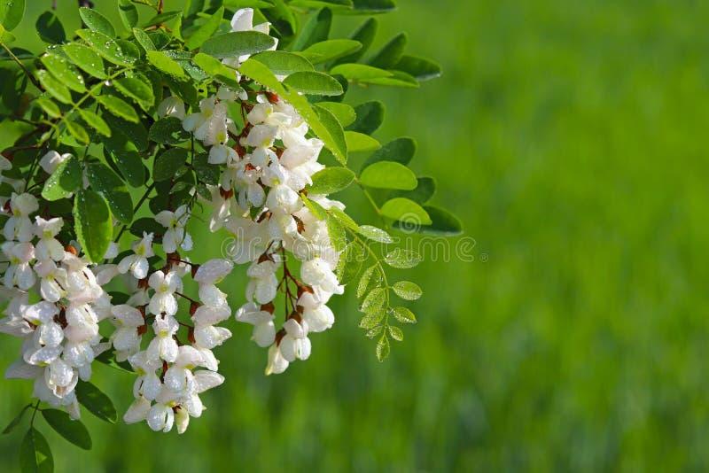 Blumen der weißen Akazie in den Tröpfchen des Morgentaus werden durch die Strahlen der Sonne beleuchtet Unscharfer grüner Hinterg stockfotografie