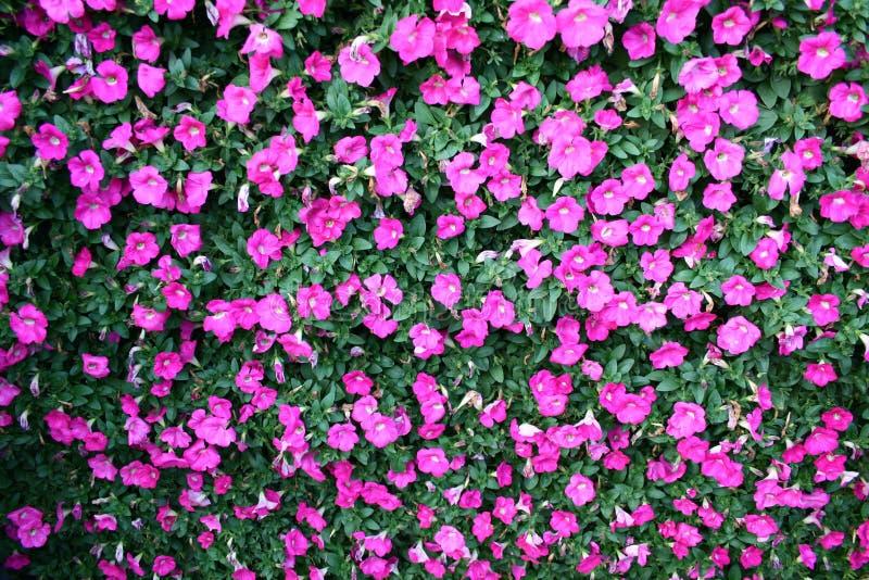 Blumen der weißen Gänseblümchen lizenzfreies stockbild
