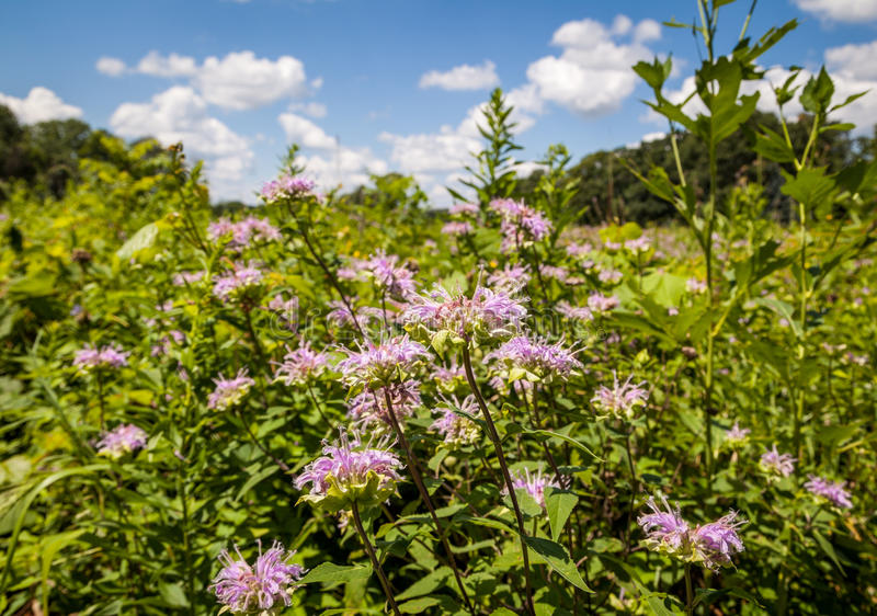 Blumen der wilden Bergamotte lizenzfreies stockfoto