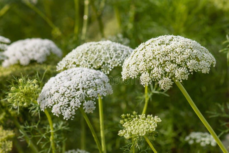 Blumen der wilden Karotte in der Blüte stockbilder