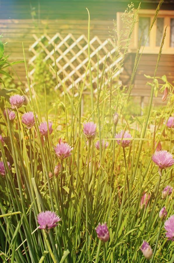 Blumen der Zwiebel lizenzfreies stockfoto