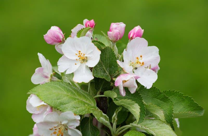 Blumen des Apfelbaums stockfoto