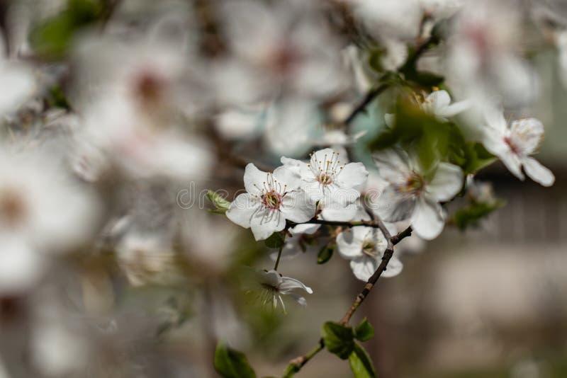 Blumen des Apfelbaums lizenzfreies stockfoto