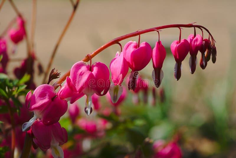 Blumen des blutenden Herzens im macrophotography stockfoto