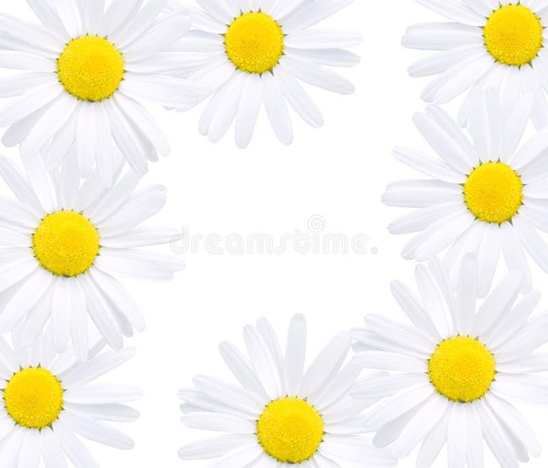 Blumen des Gänseblümchens lizenzfreie stockfotografie
