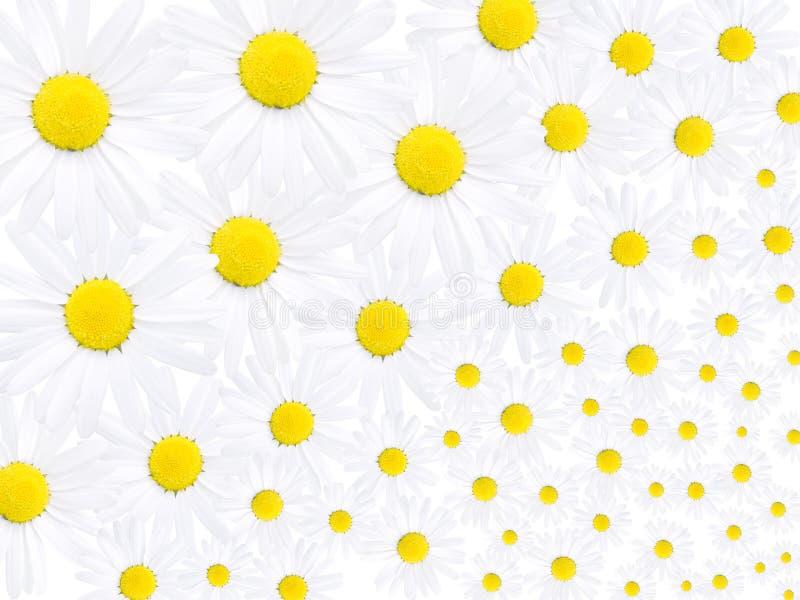 Blumen des Gänseblümchens stockfoto
