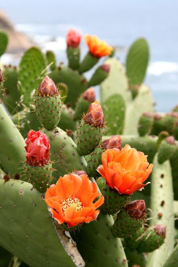 Blumen des Kaktus in Spanien stockbild