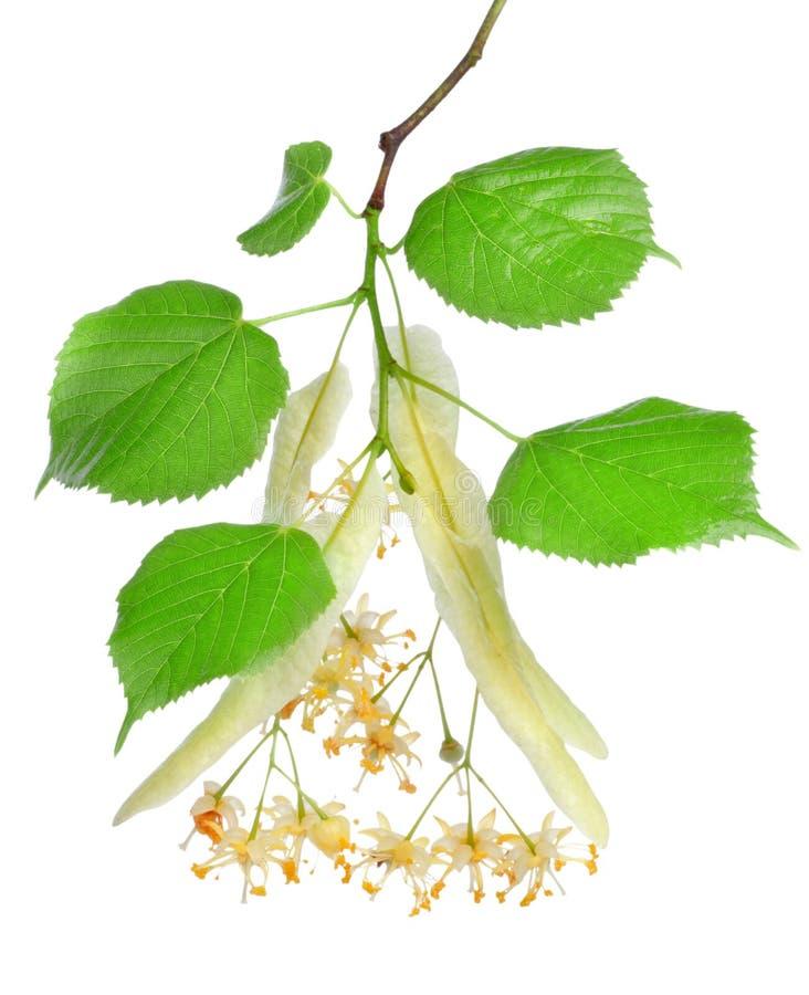 Blumen des Lindenbaums lizenzfreies stockfoto