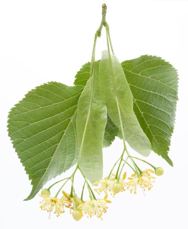 Blumen des Lindenbaums lizenzfreie stockbilder