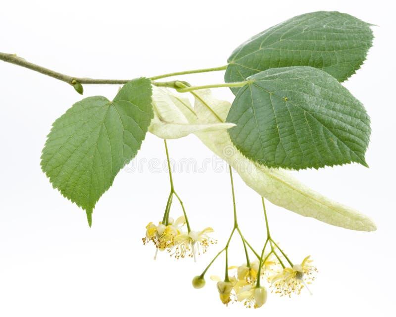 Blumen des Lindenbaums lizenzfreie stockfotografie