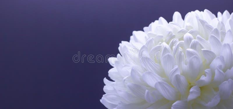Blumen des Makrofotos der empfindlichen weißen Chrysantheme auf einem freien Raum des dunklen Hintergrundes für Ihren Text stockfoto