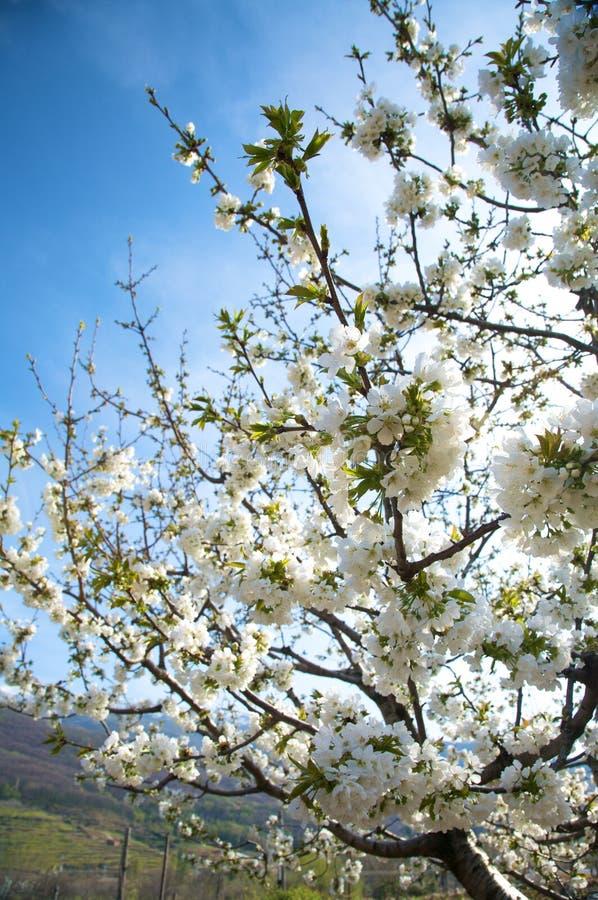 Blumen des Mandelbaums lizenzfreie stockbilder
