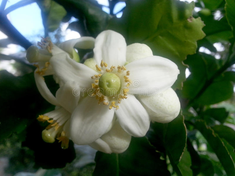 Blumen des Pampelmusenbaums, der eine große Zitrusfrucht wie Pampelmuse produziert stockbilder