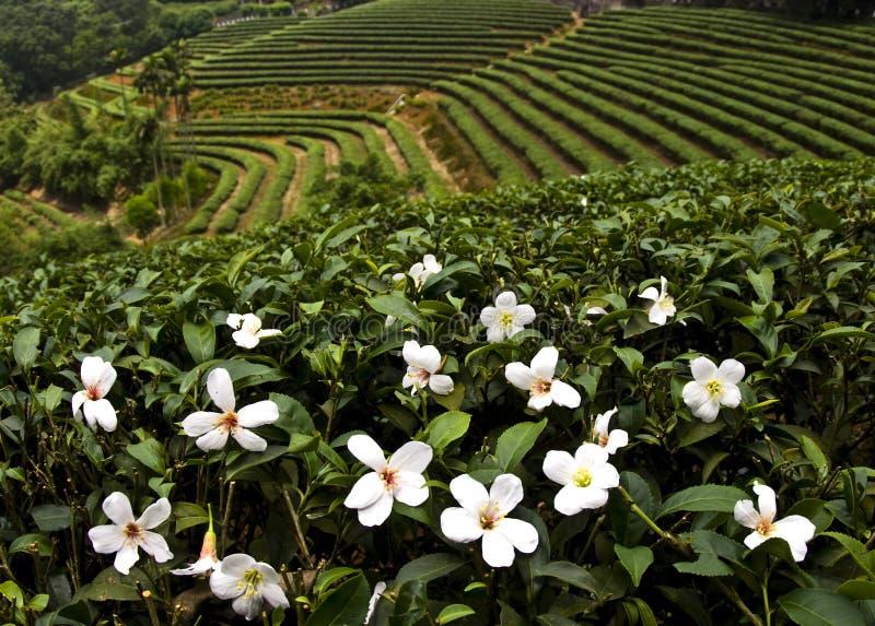 Blumen des Tung-Schmierölbaums im Mai stockbilder