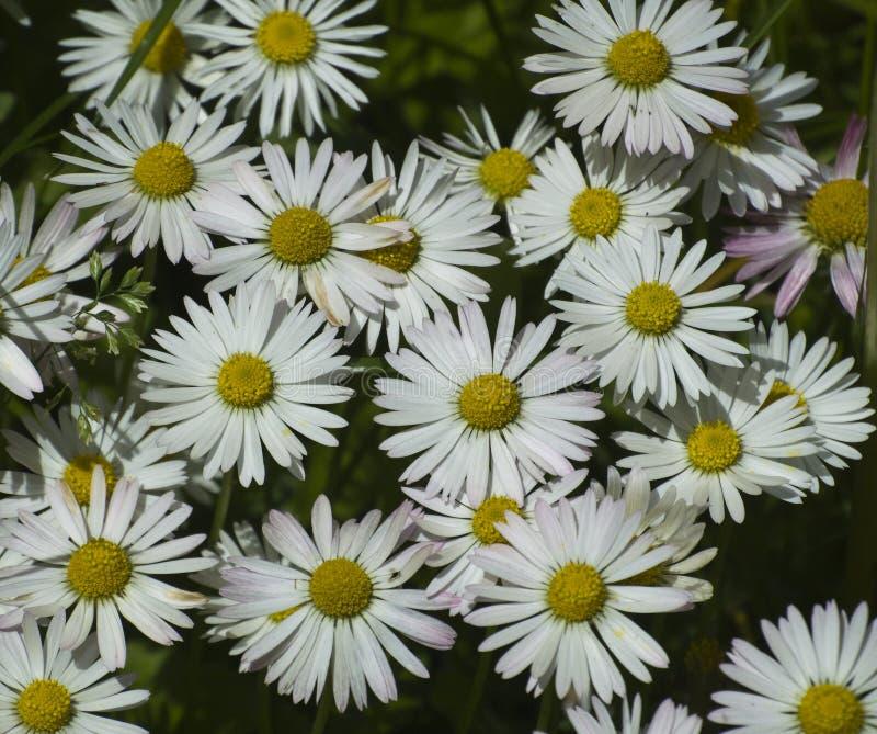 Blumen des weißen Gänseblümchens lizenzfreie stockbilder