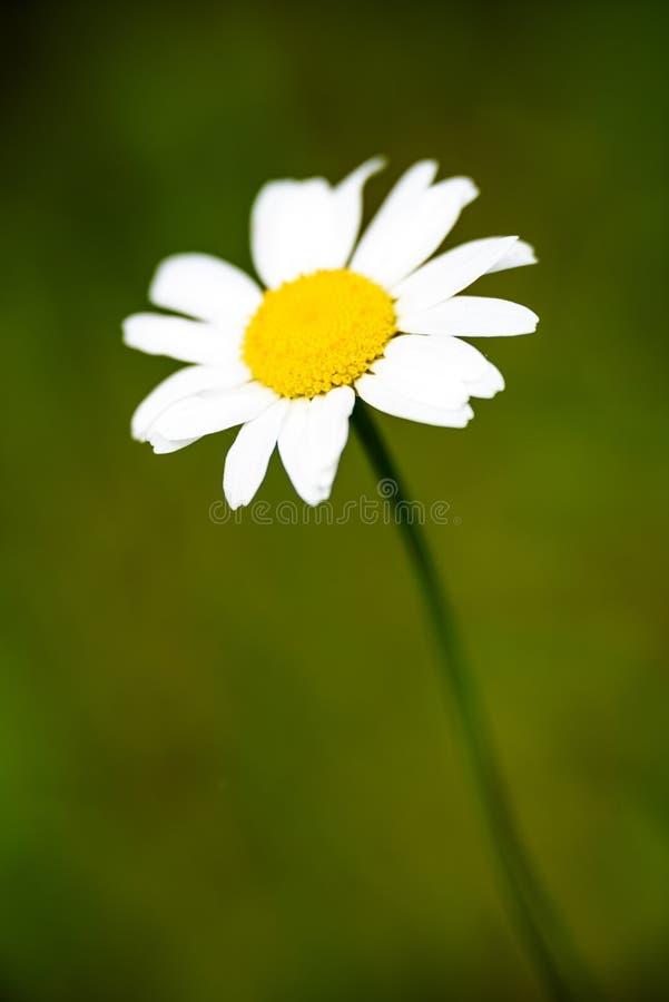 Blumen des weißen Gänseblümchens auf grünem Hintergrund lizenzfreies stockbild