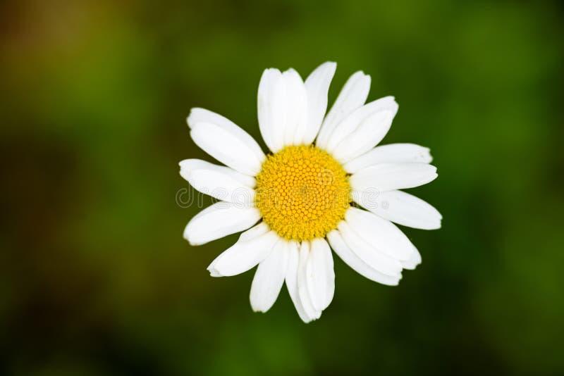 Blumen des weißen Gänseblümchens auf grünem Hintergrund stockbilder