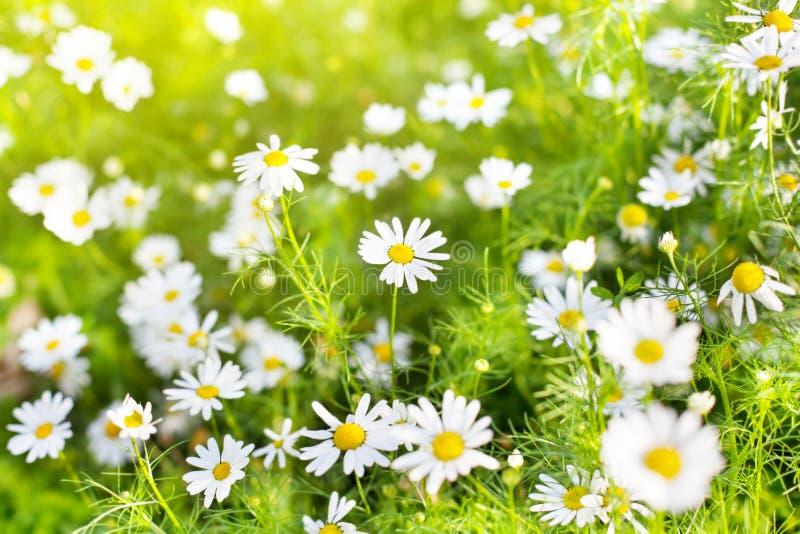 Blumen des weißen Gänseblümchens auf unscharfem grünes Gras- und Sonnenlichthintergrundabschluß oben, Kamillenblumen-Blüten stockfoto