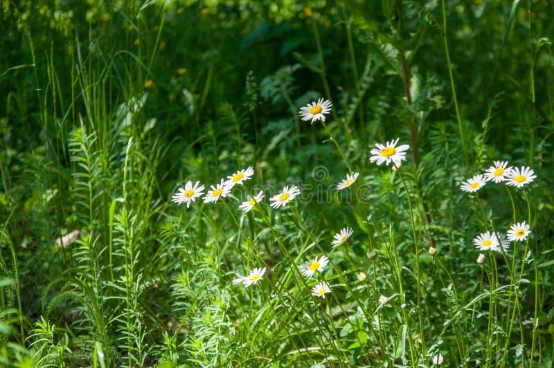 Blumen des weißen Gänseblümchens wachsen im Wald vor dem hintergrund der Grünpflanzen und des Grases lizenzfreie stockfotografie
