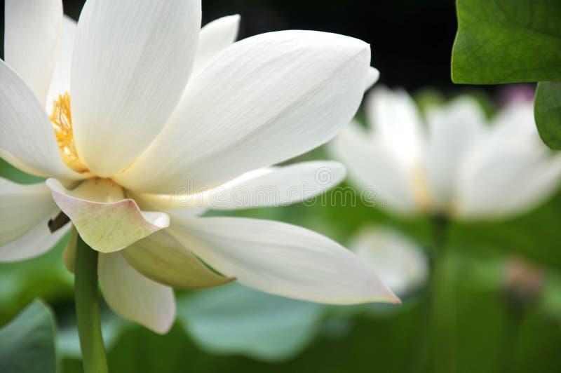 Blumen des weißen Lotos der Blüte lizenzfreies stockfoto