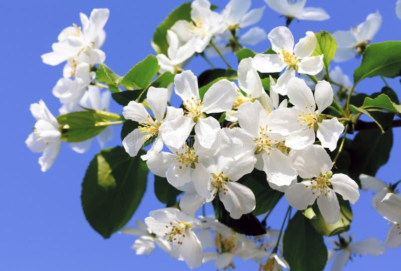 Blumen in einem Apfelbaum lizenzfreies stockbild
