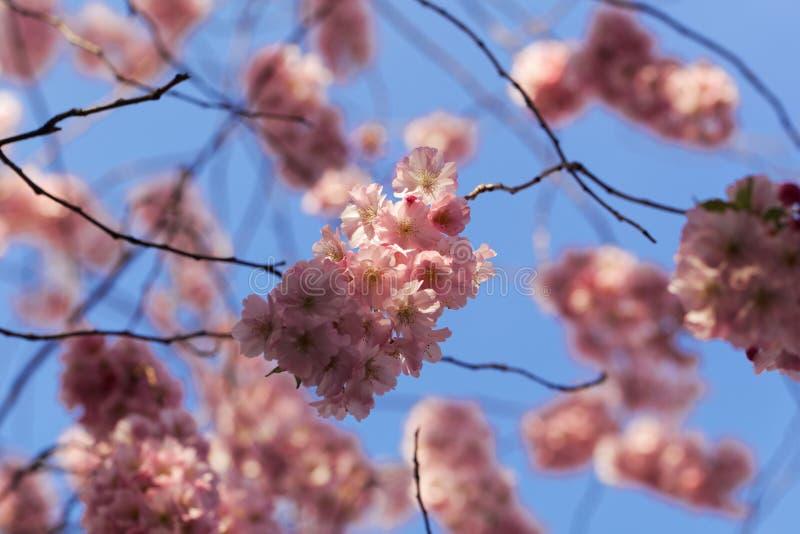 Blumen einer japanischen Kirsche, Prunus serrulata stockbilder