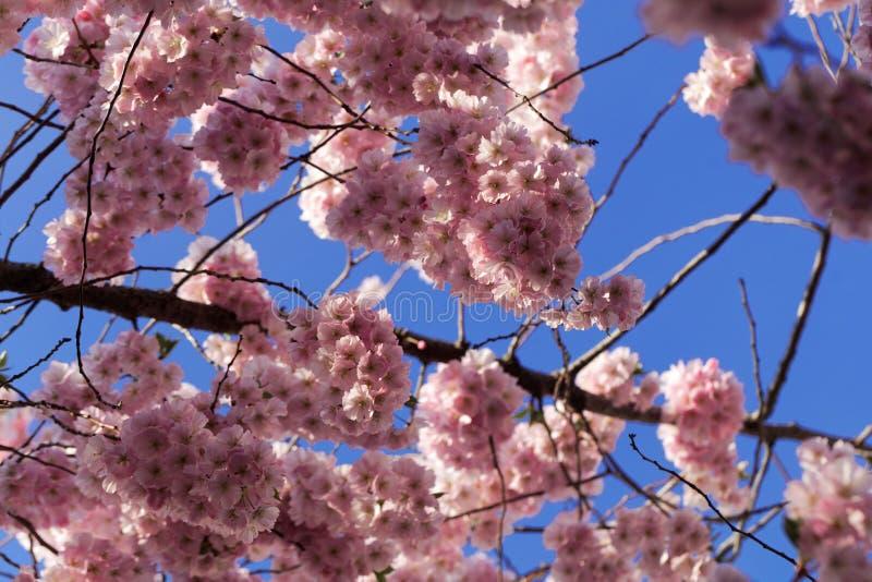Blumen einer japanischen Kirsche, Prunus serrulata stockfotos