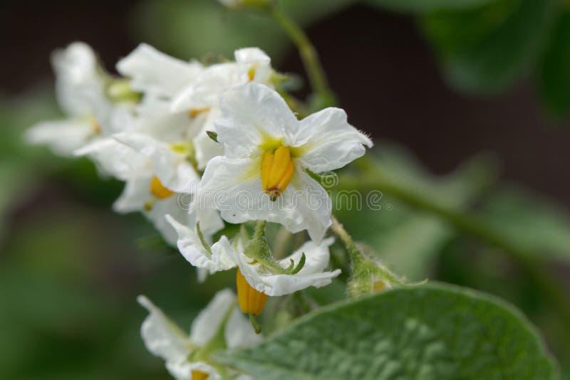 Blumen einer Kartoffelpflanze stockfotos