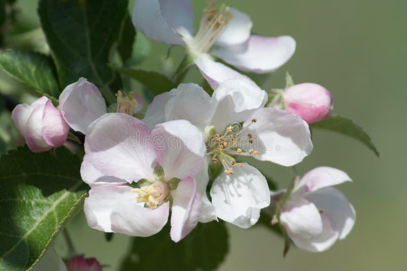 Blumen eines Apfelbaums in einem Frühling arbeiten im Garten lizenzfreies stockbild