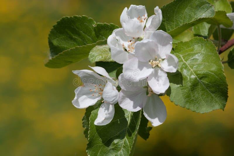 Blumen eines Apfelbaums in einem Frühling arbeiten im Garten stockfotos