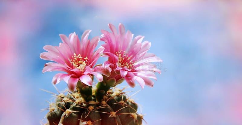 Blumen eines Kaktus gegen den blauen Himmel stockfotos