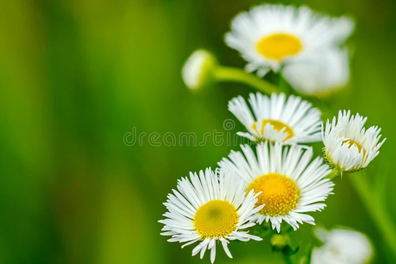 Blumen eines kleinen Gänseblümchens auf grünem Hintergrund lizenzfreie stockfotos