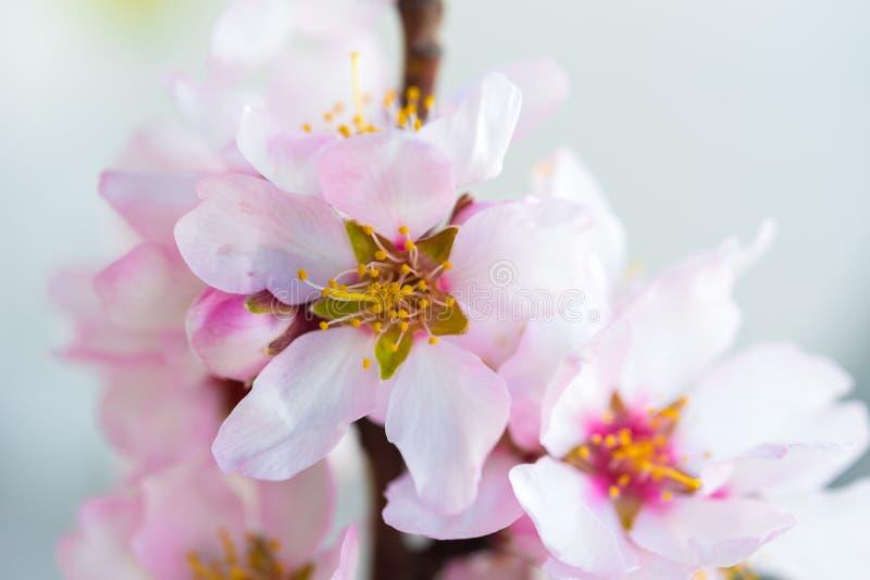 Blumen eines Mandelbaums, ein Blühen Makro Nahaufnahme lizenzfreie stockfotos